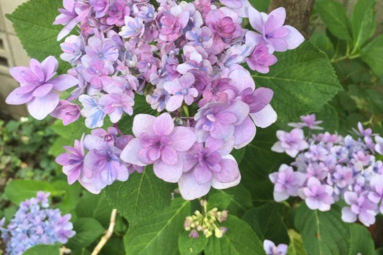花も人も咲く時期はそれぞれ  〜梅雨時期は紫陽花〜