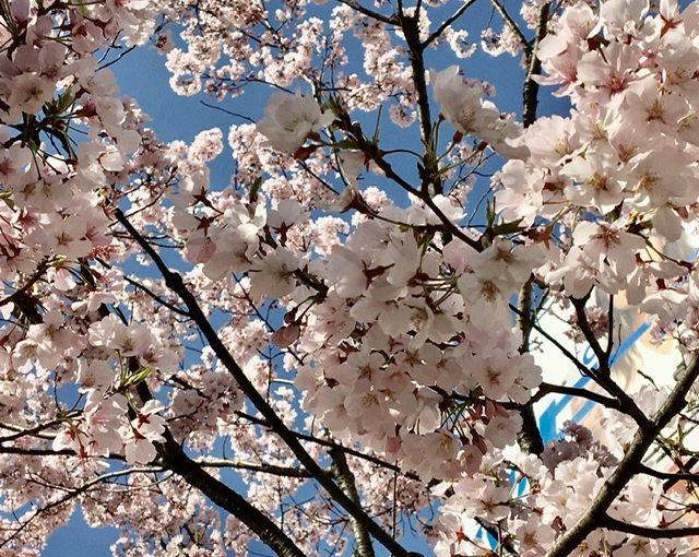 桜が満開の季節に思うこと